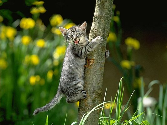 click to free download the wallpaper--Pussy Cat Images, Gray Kitten on a Tree, Climbing and Screaming