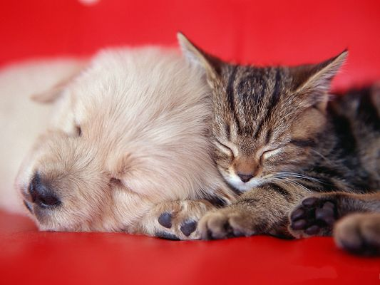 click to free download the wallpaper--Pussy Cat Images, Sleeping with a Puppy, Precious Friendship