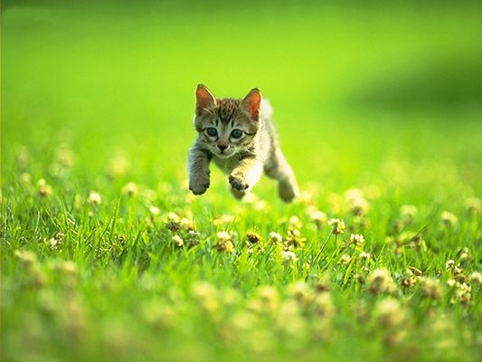 click to free download the wallpaper--Pussy Cat Pic, Jumping High Over Green Grass, Is It After Something?
