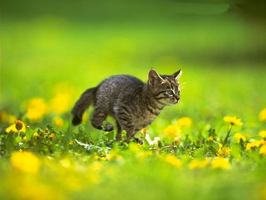 Pussy Cat Picture, Jumping Kitten Among Green Grass and Yellow Flowers