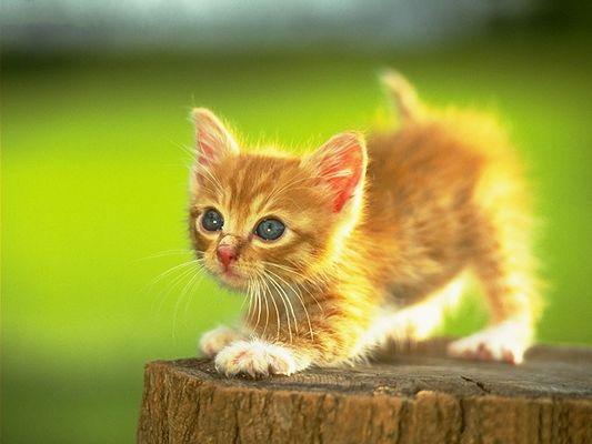click to free download the wallpaper--Pussy Cat Picture, Little Golden Kitten on Wood, Standing Up Tall