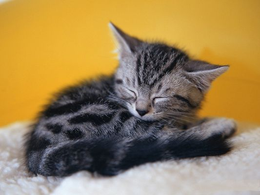 click to free download the wallpaper--Pussy Cat Picture, Sleep on White Carpet, Hard to be Weaken Up