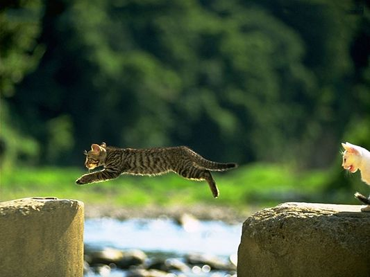 click to free download the wallpaper--Pussy Cats Photo, Wild Cat's Body Fully Stretched, Crossing Long Distances