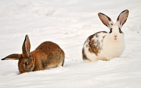 click to free download the wallpaper--Rabbits in the Snow, Two Attentive Rabbits, Impressive Look