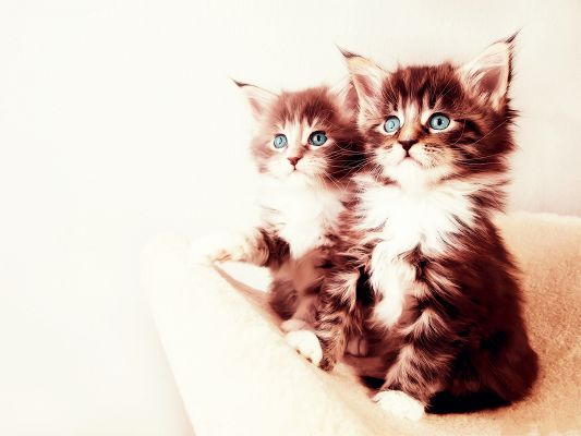 click to free download the wallpaper--Ragdoll Image, Two Kitties Looking at One Direction, Sweeties, Is Mom There?