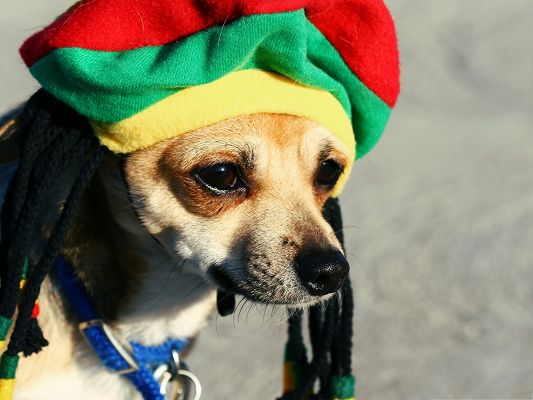 click to free download the wallpaper--Rasta Dog Image, the Symbolizing Hat, Unique Puppy