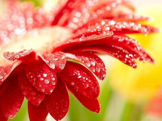 click to free download the wallpaper--Red Flower Picture, Blooming Flower with Rain Drops, Fuzzy Background