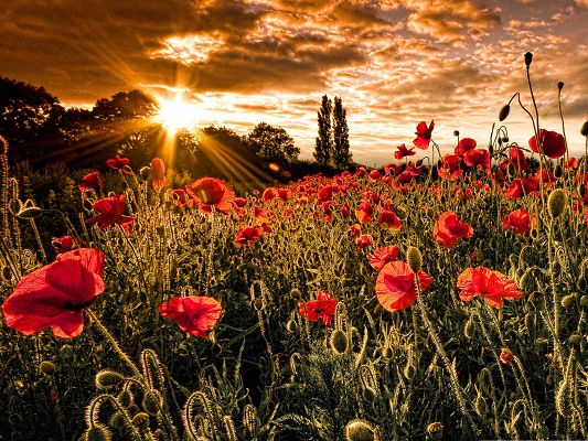 click to free download the wallpaper--Red Flower Pictures, Large Flower Field, the Sun Works Hard to Shine