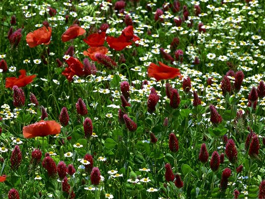 click to free download the wallpaper--Red Flowers Field, Beautiful Flowers Blooming, Green Grass and Leaves, Nature Scene