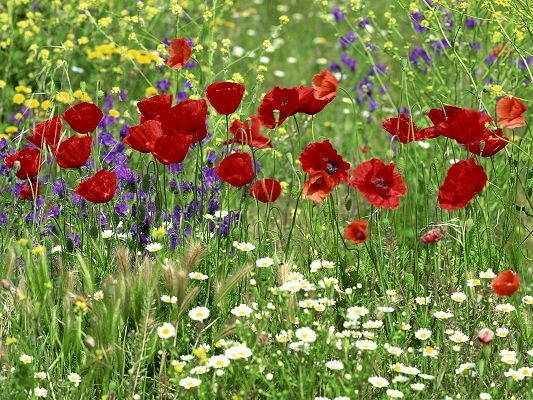 click to free download the wallpaper--Red Flowers Field, Blooming Colorful Flowers, Red is No Doubt the Most Impressive
