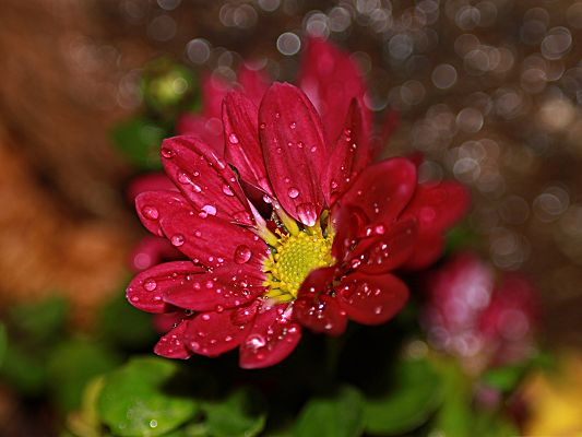 click to free download the wallpaper--Red Flowers Image, Flower Drops on Wide Petals, Watering Bubbles Background