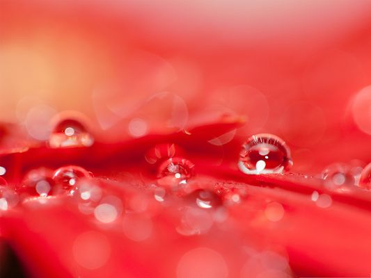 click to free download the wallpaper--Red Flowers Picture, Beautiful and Clear Water Drops, Amazing Scene
