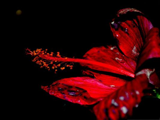 click to free download the wallpaper--Red Flowers Picture, Long Red Stamen, Black Background