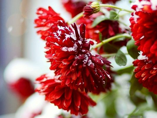 Red Flowers Picture, White Snow on Blooming Flower, Great Scene