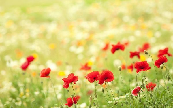 Red Flowers and Green Grass Combined, Some Grass Mere, a More Attractive Scene is Gained - HD Natural Scenery Wallpaper