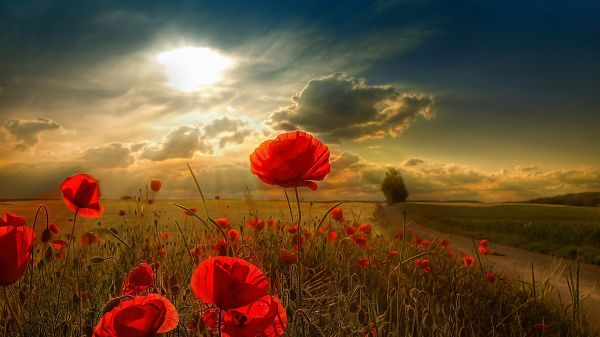 Red Flowers on Brown Ground, Blue Sky and Sunlight, Flowers Draw Incredible Attention - HD Natural Scenery Wallpaper