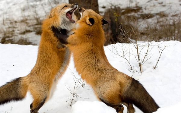 click to free download the wallpaper--Red Foxes Montana HD Post in Pixel of 1920x1200, Two Wolves Fighting in Snowy World, Hard to Put It an End - TV & Movies Post