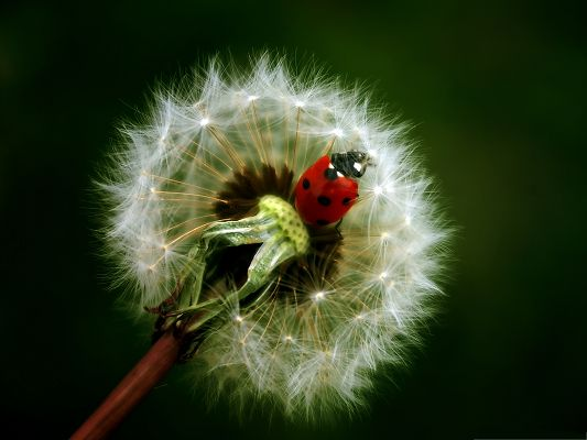 click to free download the wallpaper--Red Ladybug Image, Tiny Insect on White Dandelion, Great in Look