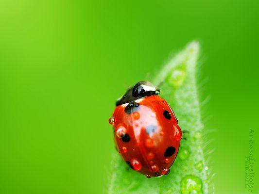 click to free download the wallpaper--Red Ladybug Images, Little Insect on Green Leaf, Big Contrast in Color