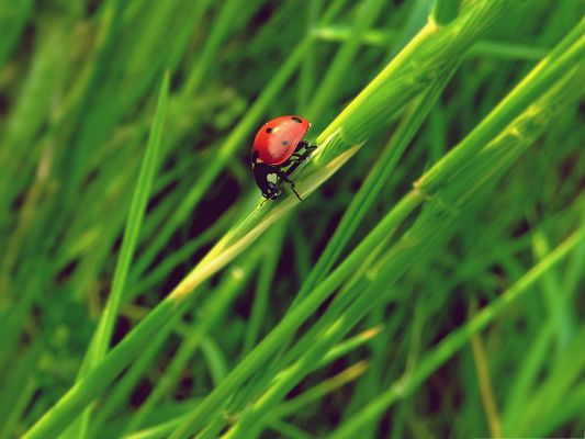 click to free download the wallpaper--Red Ladybug Pic, Little Insect Among Green Plants, Amazing Look
