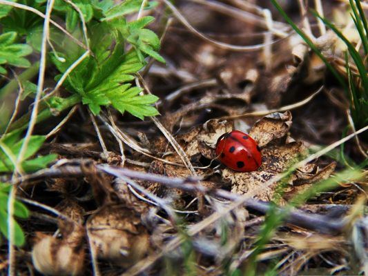 Red Ladybug Picture, Tiny Insect on Brown Leaves, Autumn Scene