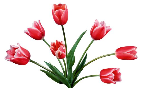 click to free download the wallpaper--Red Tulips Picture, Beautiful Blooming Flower on White Background