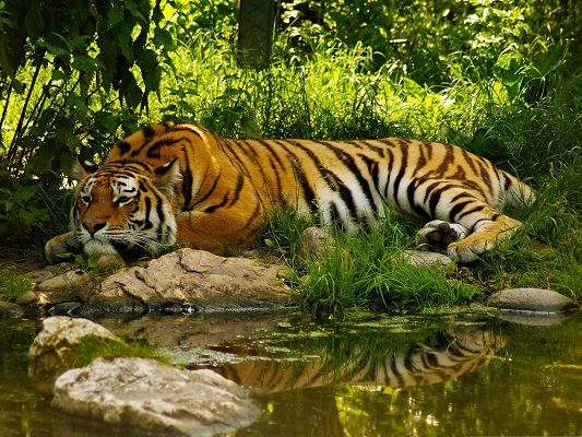 click to free download the wallpaper--Resting Tiger Image, Lying by the Clean Lake, It Will Get Sound Sleep