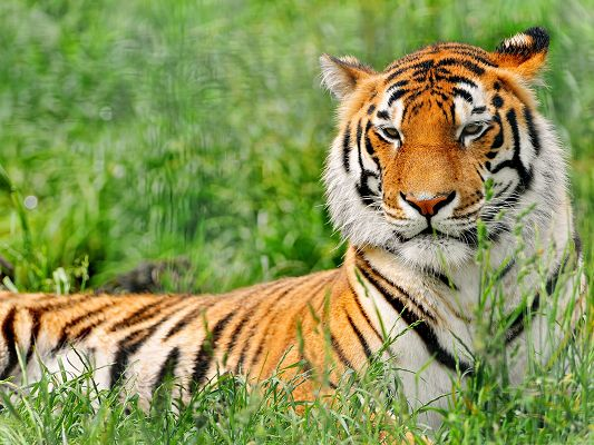 click to free download the wallpaper--Resting Tiger Pictures, Beautiful Tiger Lying on Green Grass, Amazing Look