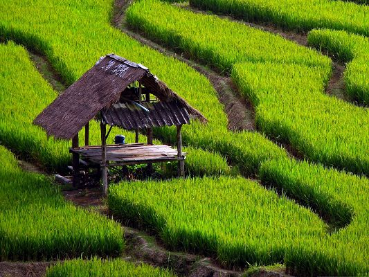 click to free download the wallpaper--Rice Field Landscape, Green Plants and Wooden House, Quite a Combination