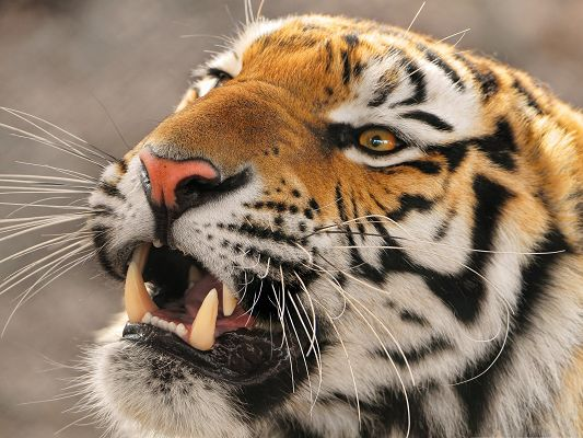 click to free download the wallpaper--Roaring Tiger Images, Face Portrait, Thick and Strong Teeth