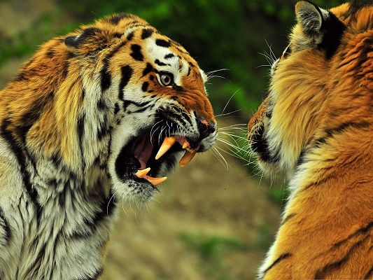 click to free download the wallpaper--Roaring Tigers Pic, Two Tigers About to Have a Fight, What Is It for?