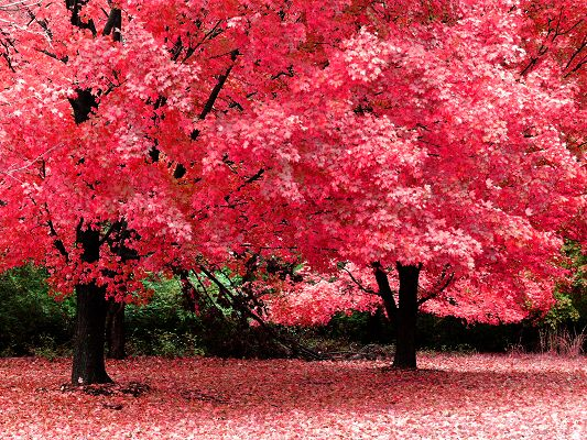 Romantic Scene of Nature, Tall Trees in Pink Leaves, Some Falling, a Lovely Place