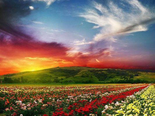 click to free download the wallpaper--Rose Flower Field, Colorful Flowers and Green Hills Under the Blue Sky