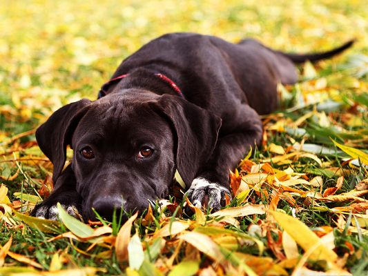 click to free download the wallpaper--Rottweiler Dog Image, Sad Black Dog Lying on Golden Leaves, Autumn Scene