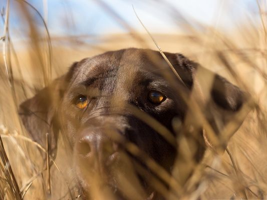 click to free download the wallpaper--Rottweiler Dog Picture, Hiding Among Brown Grass, Ready to Attack