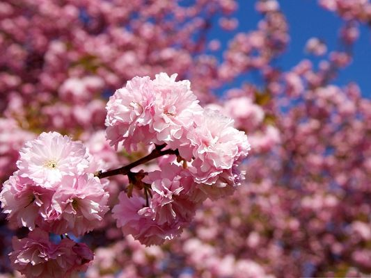 click to free download the wallpaper--Sakura Flowers Picture, Pink Flowers Bouquet, Nice-Looking and Impressive