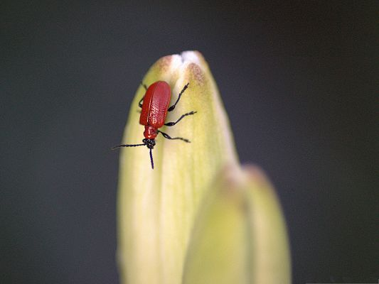 click to free download the wallpaper--Scarlet Lily Beetle, Red Tiny Insect on Green Plant, Greatly Attractive