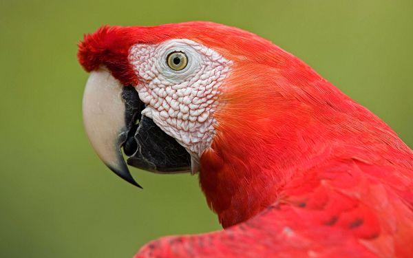 click to free download the wallpaper--Scarlet Macaw Portrait Post in Pixel of 1920x1200, All Details Shown Clearly, Green and Red Combine Quite a Contrast - Cute Animals Wallpaper