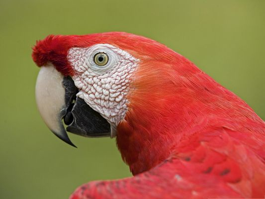 click to free download the wallpaper--Scarlet Parrot Wallpaper, Red Parrot's Macaw Portrait, Green Background