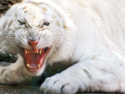 click to free download the wallpaper--Scary Animal Post, an Angry White Tiger is Screaming, Someone is Going to Pay the Price