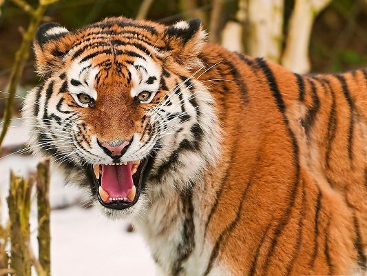 Scary Tiger Pic, Wide Open Mouth, It is Desperately Shouting