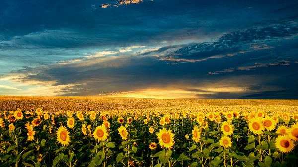 click to free download the wallpaper--Sceneries with Flowers - A Field of Sunflowers Are Smiling, the Incredibly Blue Sky, Combine a Great Scene