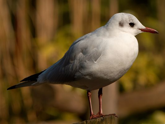 click to free download the wallpaper--Seagull Bird Picture, White and Pure, Standing Up Tall, the Decent Princess