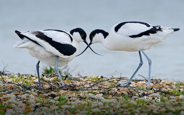click to free download the wallpaper---Seeing Every Detail Clearly, Birds Lowering the Head Down to Have a Kiss, How Romantic the Scene is! - Widescreen HD Animals Wallpaper