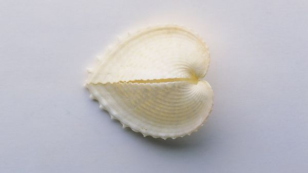 Shell in Heart-Shaped Design, a Broken Heart, Inside is a Lightening Item, Guess What is It? - HD Shell Wallpaper