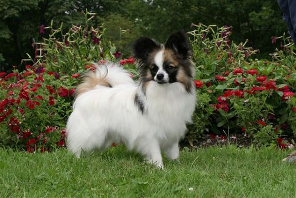 Shetland Sheepdog Outdoor