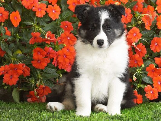 Shetland Sheepdog Puppy Wallpaper