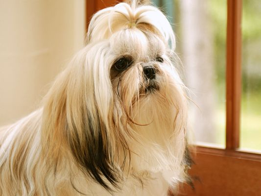 click to free download the wallpaper--Shih Tzu Pet Dog Image, Well-Deserved of Its Name, Beautiful and Attractive