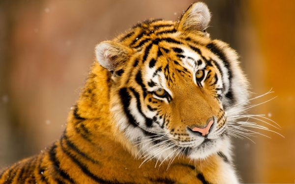 click to free download the wallpaper--Siberian Tiger Pic, Snow on Its Body, Wild and Scary Animal