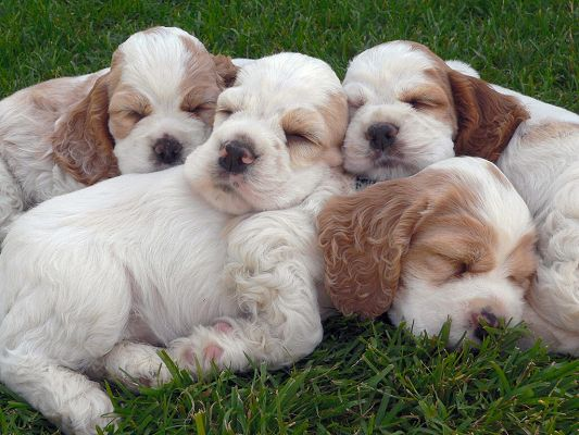 click to free download the wallpaper--Sleeping Poodle Puppies